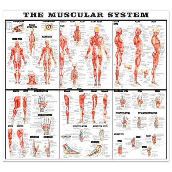Wandtattoos: Das Muskelsystem