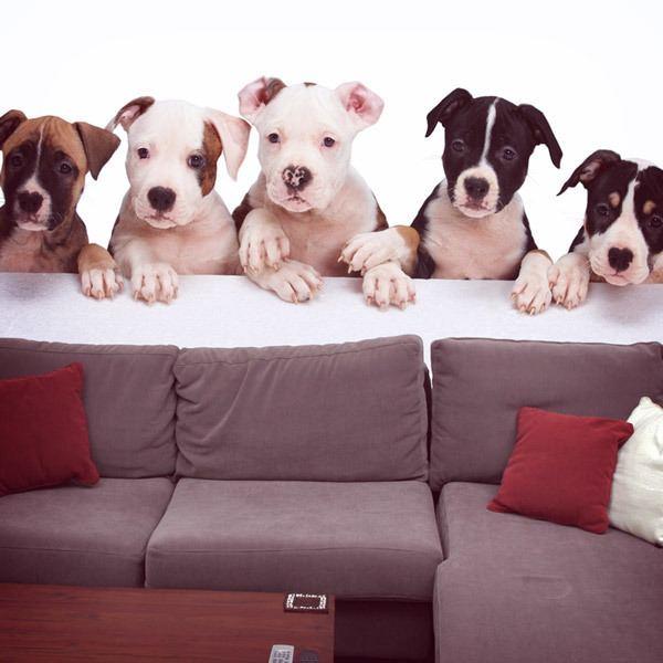 Fototapeten: Bulldogge Welpen 0