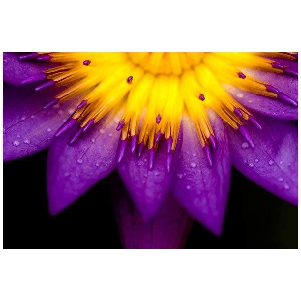 Fototapeten: purple Lotus
