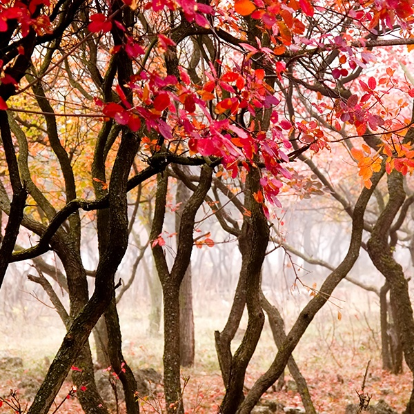 Fototapeten: Die rote Wald 0