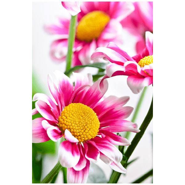 Fototapeten: Weiß und Rosafarbenes Gänseblümchen