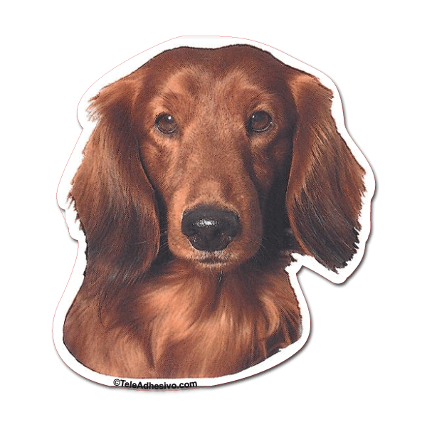 Aufkleber: Red Long-haired Dachshund 0