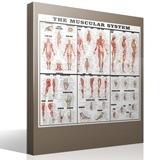 Wandtattoos: Das Muskelsystem 4
