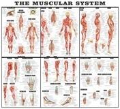 Wandtattoos: Das Muskelsystem 3