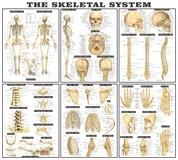 Wandtattoos: Die Skelett-Systems 3