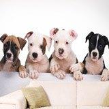 Fototapeten: Bulldogge Welpen 2