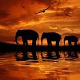 Fototapeten: Elefantes 3