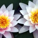 Fototapeten: Lotus-Blumen 2