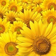 Fototapeten: Sunflowers 3