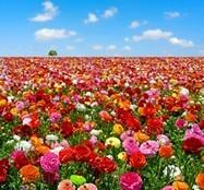 Fototapeten: Blume Feld 3