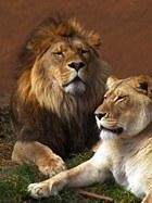 Fototapeten: Lion und Löwin 3