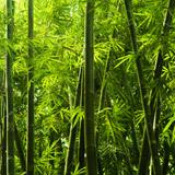 Fototapeten: Bambus 4