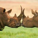 Fototapeten: Nashorn 3