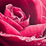 Fototapeten: Wet Blütenblätter 2
