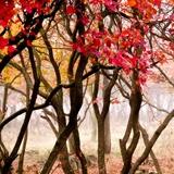 Fototapeten: Die rote Wald 1