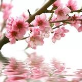 Fototapeten: Mandelblüte 2