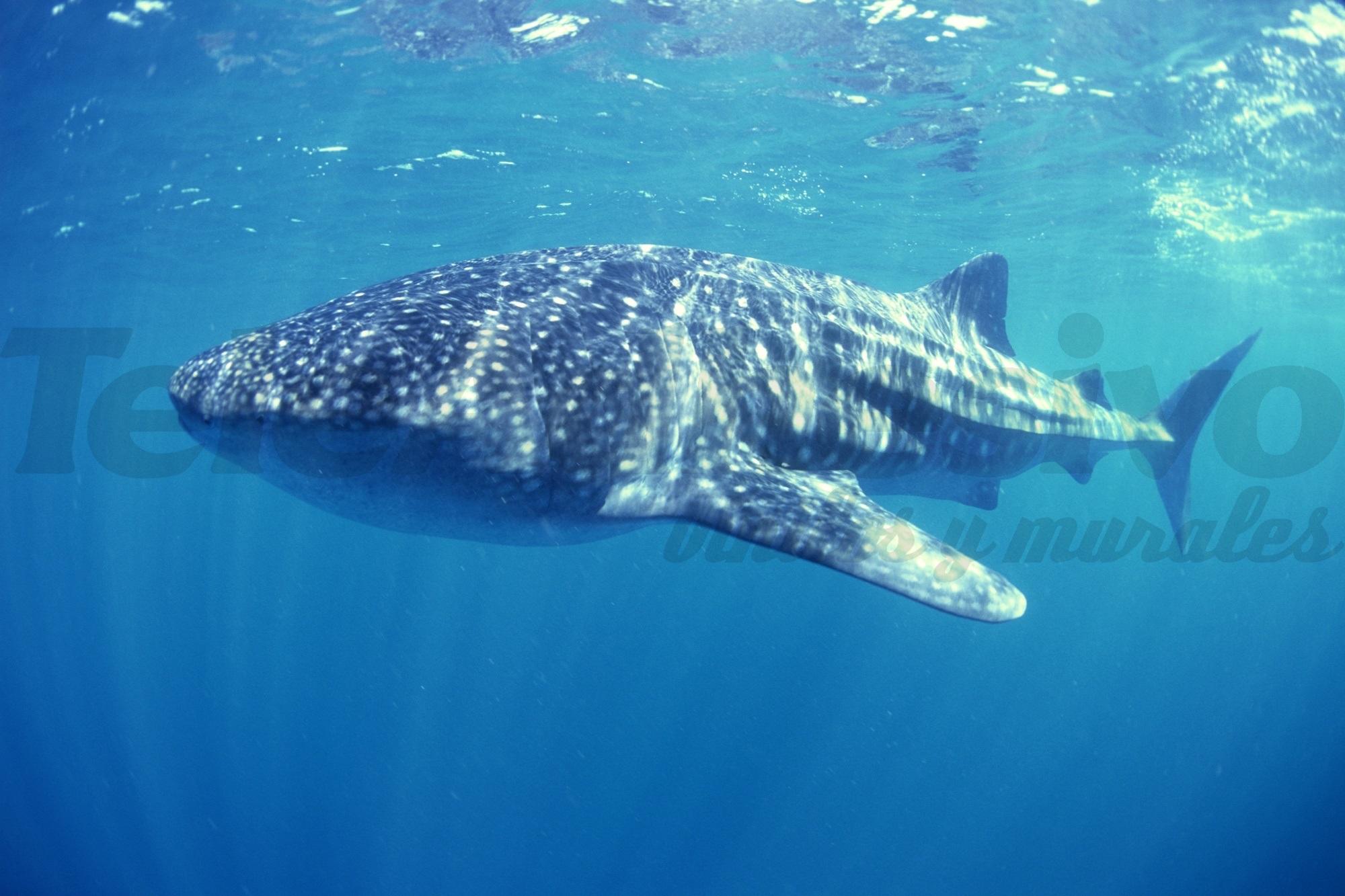 Fototapeten: Whale Shark
