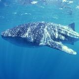Fototapeten: Whale Shark 2