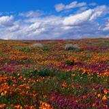 Fototapeten: Tulpenfelder 2