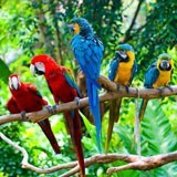Fototapeten: Fünf Papageien 3