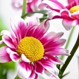 Fototapeten: Weiß und Rosafarbenes Gänseblümchen 2