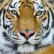 Fototapeten: Tiger 3