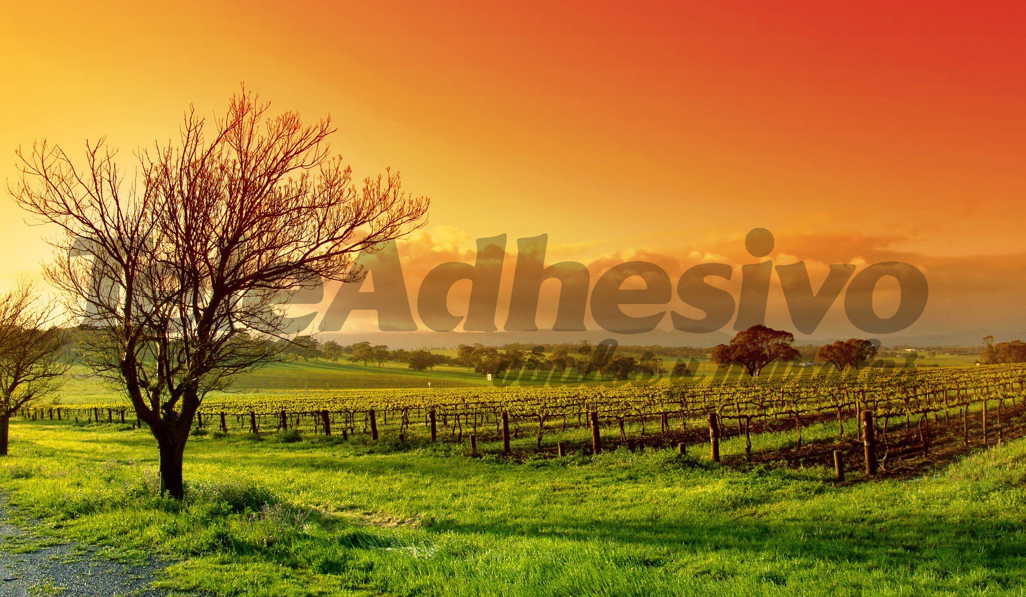 Fototapeten: Sonnenuntergang am Weinberg