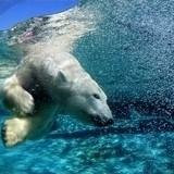 Fototapeten: Polar Bear 2