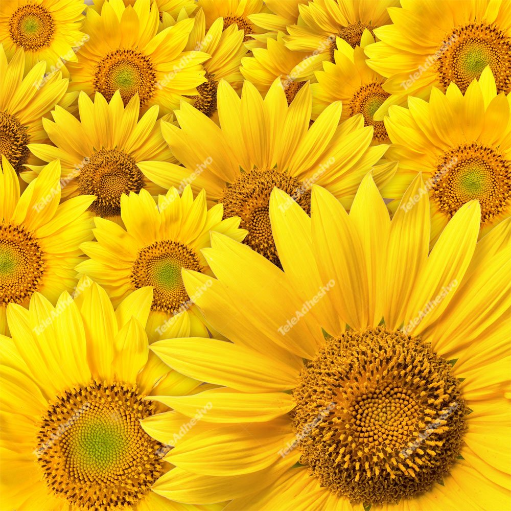 Fototapeten: Sunflowers