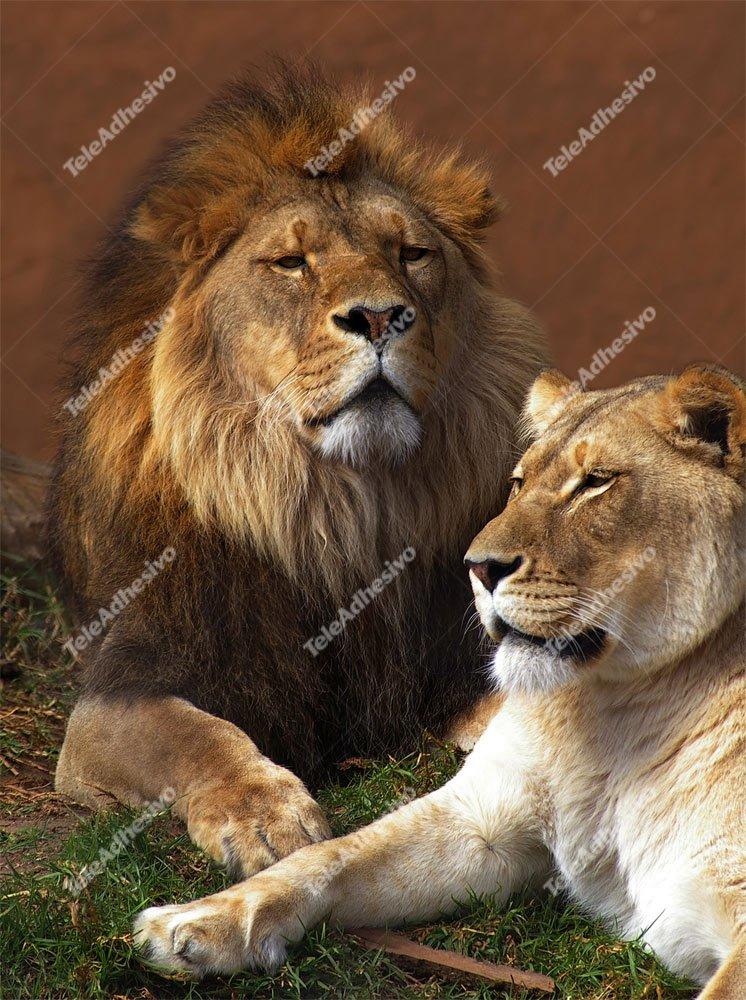 Fototapeten: Lion und Löwin
