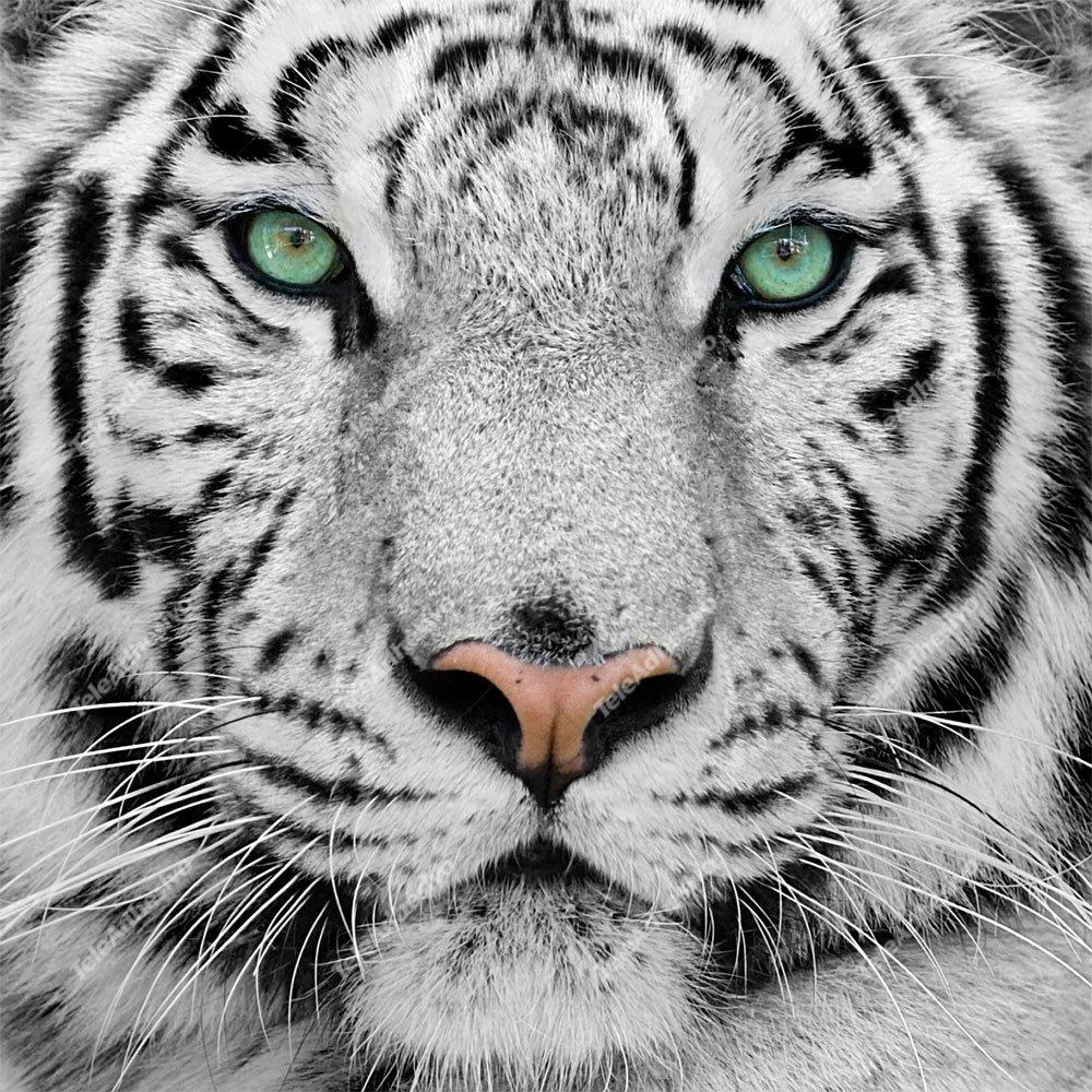 Fototapeten: White Tiger