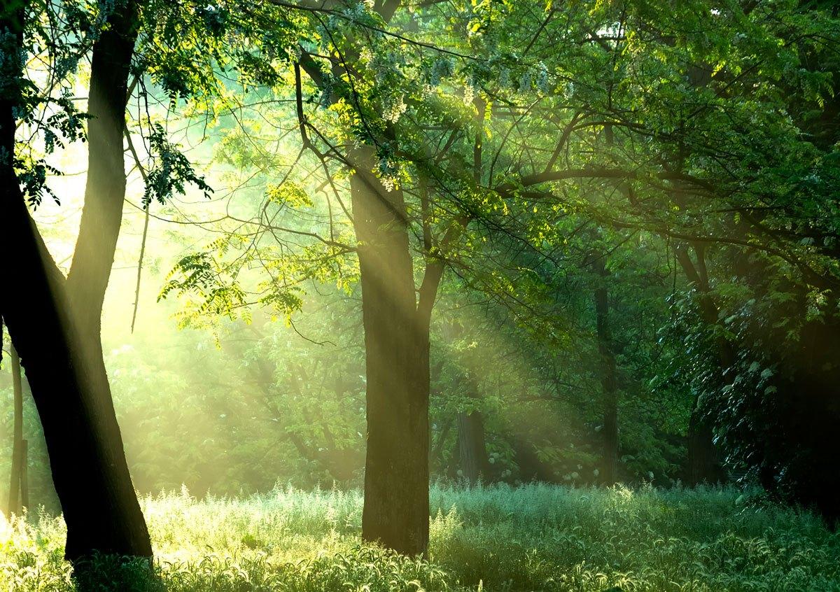 Fototapeten: Licht durch die Bäume